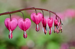 bleeding heart 14/52 (sure2talk) Tags: bleedingheart lamprocapnosspectabilis pink hearts hilliergardens macro closeup shallowdof bokeh nikond7000 nikkor85mmf35gafsedvrmicro april2017amonthin30pictures 330 52weeksfornotdogs 1452