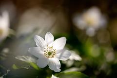 Spring (Gr@vity) Tags: spring frühling buschwindröschen macro flower forest nature 5dsr canon