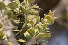 Hawai'i 'Amakihi (Chlorodrepanis virens) (sp. # 163) (s_uddin59) Tags: hawaiiamakihi amakihi chlorodrepanisvirens puuoo puuootrail hawaiiisland hawaii bigisland hawaiianhoneycreeper honeycreeper endemic endemicbird hawaiianendemic bird sp163