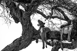 The Serengeti's Tree Climbing Lions