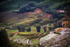 Sapa12 (madcityfinearts) Tags: vietnam asia sapa rice terrace