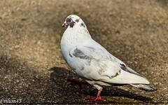 Pigeon Chabo ou poule ??? (Crilion43) Tags: pigeons france oiseaux poulechabo allier vichy auvergne merle corbeau corneille eau pigeon rivière