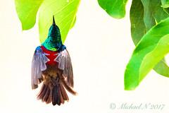 Northern Double-collared Sunbird (michaeln12) Tags: tropical bird colorful beautiful preussnektarvogelcinnyrisreichenowipreussinortherndoublecollaredsunbirdsouimangadepreuss nice rainforest green tropicalbird colourful red sunbird