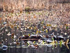 Assemblage Of Turtles (HJharland5) Tags: turtles turtle pond spring water plants leaf leaves park arboretum group animal