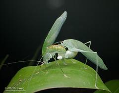 Mating Katydids_MG_5946 copy (Kurt (OrionHerpAdventure.com)) Tags: katydid orthoptera mating