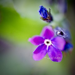 forget me not (ggcphoto) Tags: forgetmenot flower macro nature purple closeup squared outdoor sonyalpha tamron 60mm