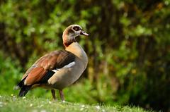 Egyptian Goose (jakewchitty) Tags: egyptian goose gosling wildlife nature thames river surrey hampton court