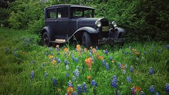 1930 Ford Model A  in Bluebonnets - 20160416_110026-01 (miss_betty2012 (not available much)) Tags: modela ford antique car old preserved bluebonnets wildflowers ennis texas spring