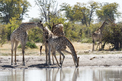 Three on One (naturalturn) Tags: drink giraffe lake savanna wateringhole water moremi moremigamereserve okavangodelta okavango delta botswana image:rating=5 image:id=203658