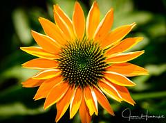 Orange Cornflower (jhambright52) Tags: macroflowers macro cornflowers orangemacro echinacea