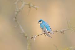 Tree Swallow (wn_j) Tags: birds birding nature naturephotography animals wildlife wildanimals wildlifephotography songbirds heinzwildlife heinz heinznwr johnheinz canon canon5d4