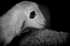 CORDERO PANDA (ROGE gonzalez ALIAGA) Tags: tranquilidad ternura animales blancoynegro nikond5000 70300mm