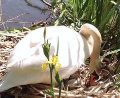 "Marika Settling Her Eggs (FernShade) Tags: vancouver ""britishcolumbia"" canada ""stanleypark"" ""lostlagoon"" ""cygnusolor"" ""muteswan swans waterfowl ""waterbirds"" nature avian ""swansoflostlagoon"" ""lostlagoonswans"" ""swansofstanleypark"" ""stanleyparkswans"" marika behavior nesting ""tendingeggs"""