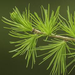 Mélèze - Larix decidua - Larch (Fred Scoffier) Tags: pinaceae mélèze larch nature