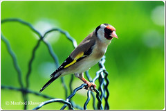 © • European Goldfinch • (M.A.K.photo) Tags: stieglitz cardueliscarduelis distelvink goldfinch europeangoldfinch putterofdistelvink nikon afnikkor300mmf28 nikkor300mm28 afstc20eiii nikkorafstc20eiii bird birds vogel vögel natur nature birdwatcher naturewatcher outdoor hessen germany deutschland