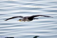 Cormorano _015 (Rolando CRINITI) Tags: cormorano uccelli uccello birds ornitologia canaledicalma genova pra natura