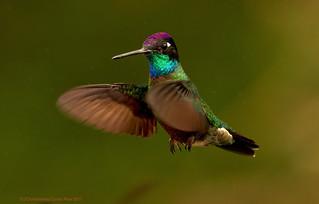 Magnificent Hummingbird - Colibri de Rivoli