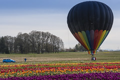 Getting Ready for Takeoff (Wambo Jambo) Tags: bruceikenberrryphotography oregon spring woodenshoetulipfarm woodenshoetulipfest flowers tulipfest tulips hotairballoons balloon hotairballoon balloons