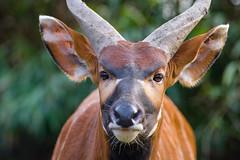 Bongo (Mathias Appel) Tags: bongo antilope antelope nikon tier tiere animal animals zoo tierpark park bokeh tragelaphus eurycerus germany deutschland deutsch german horns hörner africa afrika portrait ears ohren ohr nose nase d7100 80200 f28