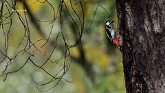 Dendrocopos major (José M. F. Almeida) Tags: birds portugal picapaumalhadogrande dendrocopos major great spotted woodpecker