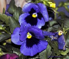 Blue pansy (rumerbob) Tags: pansy bluepansy flower floral flowergarden fauna botany botanicalgardens botanical nature naturewatcher macro macroflower macrophotography canon7dmarkii canon100mmmacrolens