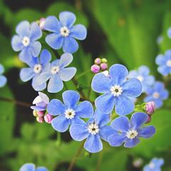 114 : 365 : VI (Randomographer) Tags: project365 flower macro blue small spring growth organic alive bloom blossom tiny nature 114 365 vi