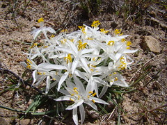 Leucocrinum montanum DSC00789 (sierrarainshadow) Tags: leucocrinummontanumhotspringmountain carsoncity nv