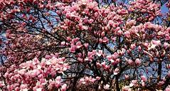 DSCF0112a_jnowak64 (jnowak64) Tags: poland polska malopolska cracow krakow krakoff wzgorzewawelskie natura przyroda krzew magnolia kwiaty wiosna mik