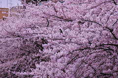 A city covered with cherry blossoms II (kazs2307) Tags: cherry cherryblossom spring pink サクラ 春 目黒川 ピンク