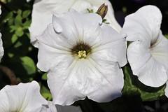Vacances_0061 (Joanbrebo) Tags: chalonsursaône france flors flores flowers fiori fleur blumen blossom canoneos80d efs1855mmf3556isstm eosd autofocus