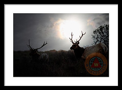 Tomales Bay California Tule Elks At Sunrise (wingsdomain.com) Tags: bayarea tuleelk tuleelks elk elks animal animals wildlife nature deer deers mammal mammals pointreyes ptreyes tomalesbay california silhouette morning mist sun sunrise antler antlers horn horns spring summer wingsdomain buy purchase sell forsale prints poster posters framedprint canvasprint metalprint fineart wallart walldecor homedecor greetingcard artprint art photograph photography