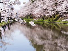 Hirosaki Spring (gemapozo) Tags: sakura hirosakicity hirosakipark cherry fosse blossom aomori 645z japan pentax 弘前市 青森県 日本 hdpentaxdfa645macro90mmf28edawsr 弘前公園 桜 さくら ソメイヨシノ