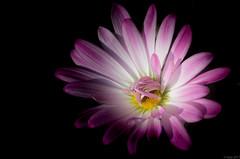 IMG_4943 (Vijay0505) Tags: macro flower daisy purple pink sunlight naturallight blooming unfolding nature