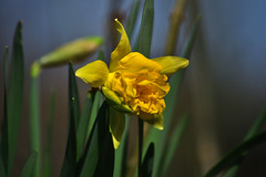 Narzisse / Osterglocke (Wolfgang's digital photography) Tags: narzisse osterglocke gelb frühblüher natur pflanze wildblume blume nikond5300