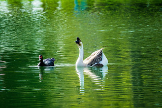 Chinese Goose (Domestic Swan Goose) and Muscovy Duck