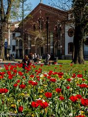 Primavera a S. Eustorgio (Gian Floridia) Tags: milano seustorgio aiuola fiori flowers morning primavera red rosso springtime sunday tulipani tulips