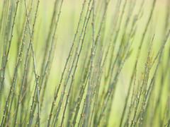Fantaisie en vert **---+° (Titole) Tags: green stems titole nicolefaton texture shallowdof 15challengeswinner thechallengefactory