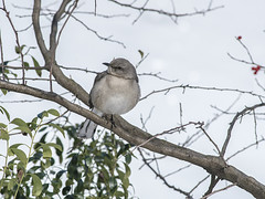 """Bird Perched on Tree Branch In Central Park During Wintertime (nrhodesphotos(the_eye_of_the_moment)) Tags: dsc0768272 """"theeyeofthemoment21gmailcom"""" """"wwwflickrcomphotostheeyeofthemoment"""" winterseason20162017innyc manhattan nyc season winter shadows reflections snow trees foliage bark perspective botanical branches branchlets bokeh landscape outdoors plantlife animallife bird perched birdlife centralpark talons"""