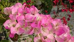 素顏 Original Appearance(Taichung, Taiwan) (rightway20150101) Tags: flowers pink taichung taiwan