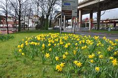 spring daffodils (werewegian) Tags: daffodil spring flower windy cowcaddens werewegian glasgow scotland mar17
