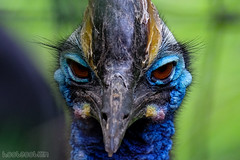 Southern Cassowary (hoobgoobliin) Tags: southern cassowary edinburgh zoo hoobgoobliin robcharles fujinonxf55200mm fujifilmxf55200mm fujifilmxe2 edinburghzoo conservation animal