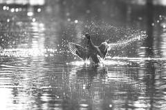 Duck Duck Goose (mizcaliflower) Tags: duck preening wings splashing water pond simivalley california