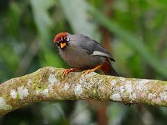 Chestnut-capped Laughingthrush (WilliamPeh) Tags: olympus omd em1 birds birding chestnut capped laughing thrush wild wildlife explore