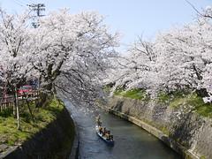 Sakura viewing from the boat (yukky89_yamashita) Tags: 富山 高岡市 river 岸渡川 桜 boat toyama takaoka japan spring