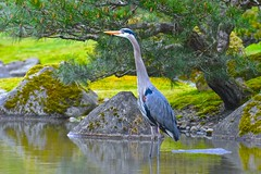 Great Blue Heron (Aurora Santiago Photography) Tags: pinetree rocks pond greatblueheron seattlejapanesegarden