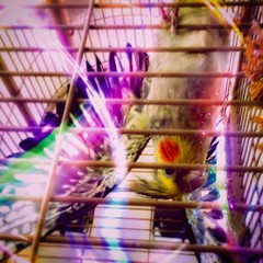 She's been watching Harry Potter again.  . . Show off . . #cockatiel #bird #cinnamonpearl #magic #showoff #lenslightapp #brainfevermedia #lights #glow #colorful #saturated #upsidedown #apple #iphone6splus #iphone #ipad #iphoneography (hbmike2000) Tags: instagramapp square squareformat iphoneography uploaded:by=instagram