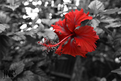 Cucarda (jorge fernando1) Tags: cucarda flor color selectivo nikon petalos rojo