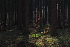 Forest Lights (Netsrak) Tags: tree trees baum bäume licht light schatten shadow eifel wald forst forest woods
