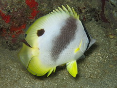 IMG_6955 (adrienweckel) Tags: adrienweckel chaetodonocellatus papillonocellé poissons