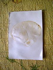 Carimbo de esporos de cogumelo Shimeji Branco - Spore stamp - (Pleurotus ostreatus) (Valter França) Tags: carimbo esporos oyster shimeji branco pleurotusostreatus comestível spore stamp mushroom reprodution agar papelão